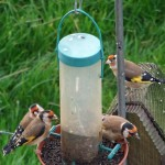 bed-and-breakfast-Haverfordwest-Broadhaven-Wales-gold-finches-1185Davies