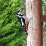 bed-and-breakfast-Haverfordwest-Broadhaven-Wales-woodpecker-1185Davies