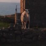 Penzance-St-Ives-Cornwall-lamb-1604Scambler