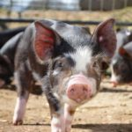 2154Todd_Rare breed pigs
