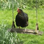 Dunster-Minehead-Devon-chickens-2672Lamacraft