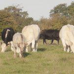 bed-breakfast-southern-england-bath-rainbow-wood-farm-cows-3575Telford_Gay