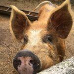 bed-breakfast-southern-england-bath-rainbow-wood-farm-pigs-3575Telford_Gay