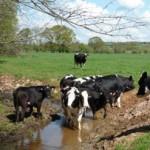 Tiverton-Honiton-Devon-cows-8010Parish
