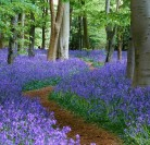A Woodland Walk ….with carpets of blue